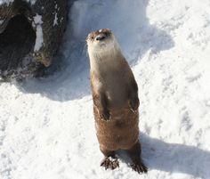 File:<b>River</b> <b>Otter</b> - Buffalo Zoo.jpg…