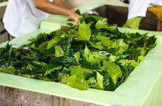 Coffee leaf tea is the hottest new beverage : TreeHugger