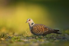 Streptopelia turtur - turkawka (zwyczajna) - European Turtle Dove Turtle Dove, Bird Watching, Birds, Animals, Animales, Animaux, Bird, Animal, Animais