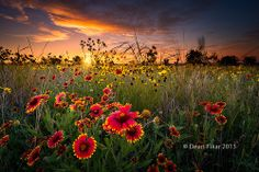 Texas Wildflowers at Sunrise | Flickr - Photo Sharing!