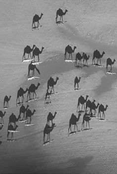 shadow camels (little white dashes are actually the camels, photo taken from almost directly above.)
