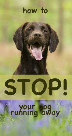 Why some dogs start running away, and what you can do to stop your dog ignoring you and running off when you remove his leash.