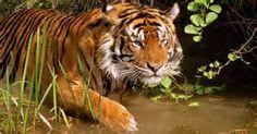 Resultados de la búsqueda de imágenes: tigres - Yahoo Search