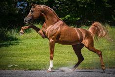 Imperial Amir Kamar-- Straight Egyptian Arabian Chestnut Stallion  #ArabianHorses