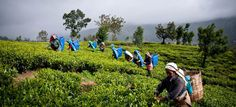 Tea carpeted valleys and the bright flash of female tea pluckers in Nuwara Eliya - Sri Lanka