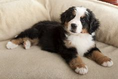 Are you looking for a large dog who is gentle around kids and family members? If so, take a look of the Bernese Mountain Dog and with this breed on your short list.
