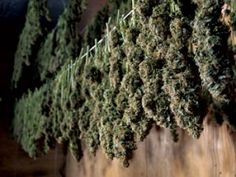grow lights marijuana  http://growingmarijuana.com/