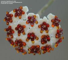 Porcelán Virág (Hoya kerrii)
