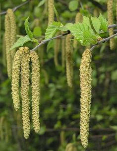 General Information Common Name Silver Brich, Warty Birch Scientific Name Betula pendula Sun Tolerance Full Sun Height ms. Betula Pendula, Tree Seeds, Garden Trees, Botany, Flower Pots, Birch, Ebay, Arthritis, Canoe