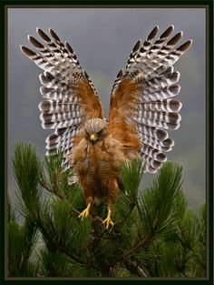 Red Shouldered Hawk Photo by Photographer Cary Maures