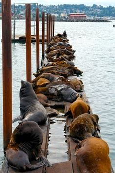 Group Of Sea Lions Sitting On Pier On The Coast Of Oregon Stock Photo, Picture And Royalty Free Image. Newport Oregon, Newport Bay, San Francisco, Oregon Living, Rio, Oregon Coast, Oregon Beaches, Oregon Usa, Into The West
