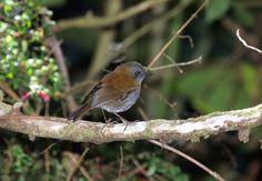 Black-billed Nightingale-thrush (Catharus gracilirostris)
