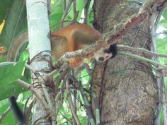 spider monkey Costa Rica