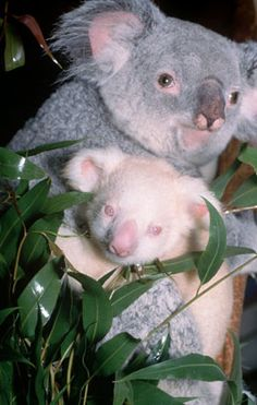 Ten-month-old Onya-Birri, the only albino koala in captivity, is shown with his mother, Banjeeri, at the San Diego Zoo.