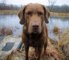 """The Chesapeake Bay Retriever is the """"tough guy"""" of the dog world. This label does not imply that the breed is mean or cold; on the contrary, Chessies, as they are lovingly called, are very affectionate, sweet companions. But since they were bred to retrieve waterfowl from the frigid waters of the Chesapeake, Chessies are …"""