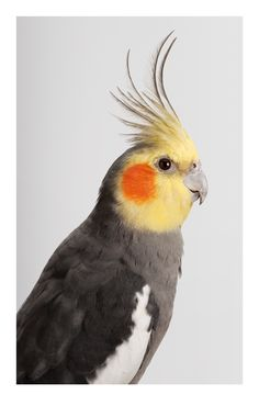 Leila #Jeffreys 'Jarra' Cockatiel, 2012, Photograph on archival fibre based cotton rag paper, Ed 6, 140 x 111 cm or Ed. 50 91 x 72 cmjpg (2)