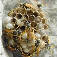 Bee removal is important to bee infected area and for the professional and expert bee catcher or pest controller contact to our ex-pertest. Earwigs, Silverfish, Getting Rid Of Bees, Bee Catcher, Pest Inspection, Bee Removal, Household Pests, Pest Solutions, Pest Control Services