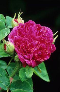 Rose 'Rose De Rescht' Portland rose