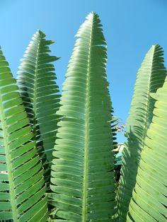 Leaves of cycad Dioon mejiae