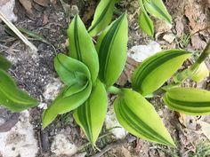 A beautiful branch of Callisia fragrans variegata 'Melnikoff' Succulents Garden, Garden Plants, Indoor Plants, Indoor Gardening, Wondering Jew Plant, Flower Show, Begonia, Houseplants, Yard