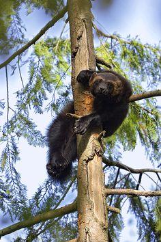 Wolverine Gulo Gulo Resting In Tree Greeting Card