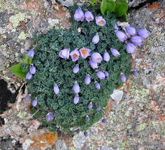 Paraquilegia anemonoides - BO-15-225 - Click Image to Close
