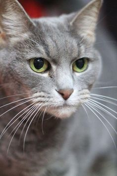 """Meet Spirit, a Petfinder adoptable Domestic Short Hair-gray Cat 