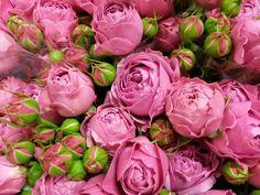 #Rose #Rose #MistyBubbles; Available at www.barendsen.nl