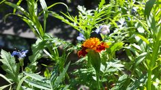Blumenwichtel von Susanne - Tagetes