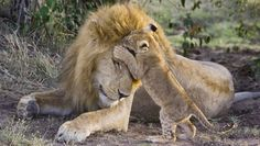 """""""The lion photos have hit it quite big because it's the cub meeting his dad for the first time ever,"""" said the wildlife photographer who captured the meeting, Suzi Eszterhas. """"It's a major part of a lion's life growing up.""""  This particular cub met his dad for the first time after seven weeks with his mom."""
