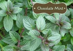 What exactly can you do with a Chocolate Mint Plant? I've provided some recipes and ideas for you!