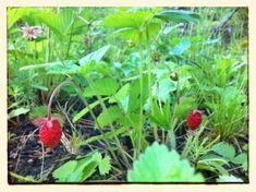 Foraging for wild strawberries / momskitchenhandbook.com