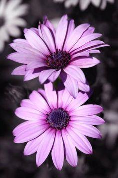 purple Gerbera Daisies