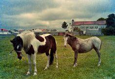 Horses at Vista Alegre field, Ílhavo, Portugal. Credits: Teresa Soares