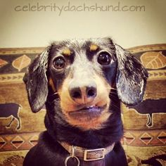 The #dachshund is a #short-legged, long-bodied, hound-type #dog breed. The standard size #dachshund was developed to scent, chase, and flush out badgers and other burrow-dwelling animals, while the miniature dachshund was bred to hunt smaller prey such as rabbits. In the United States, they have also been used to track wounded deer and hunt prairie #dogs.