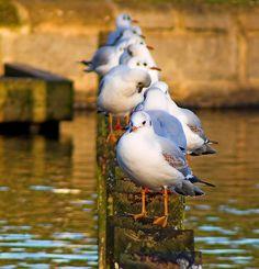 planetofbeauty:  Birds in a line by JuanJ on Flickr.