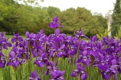 un #massif d'#iris #violet #purple #flowers
