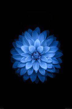 FreeiOS7 | ac99-wallpaper-apple-blue-lotus-iphone6-plus-ios8-flower | freeios7.com