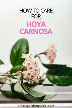 How to care for Hoya Carnosa. Learn how to keep this beautiful houseplant healthy and learn the secrets of getting yours to bloom again and again.