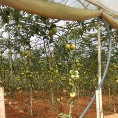Cà chua Facies Fruit