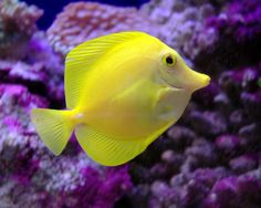 Thinking about setting up your own saltwater aquarium? Find out which marine aquarium fish are going to be best for beginning hobbyists. Freshwater Aquarium Fish, Saltwater Aquarium, Colorful Fish, Tropical Fish, Tang Fish, Yellow Fish, Bright Yellow, Color Yellow, Fish Wallpaper