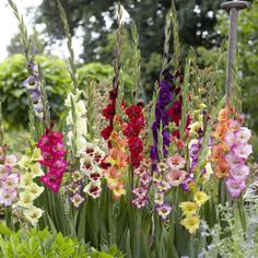 A new breed of dwarf Gladioli hybrids, which grow to just Great for the border or in patio containers as illustrated. A fine mixture of strong coloured flowers throughout the summer. the Gladioli plant is celebrated for its upright, statuesque Gladiolus Bulbs, Gladiolus Flower, Dahlia Flower, Rare Flowers, Beautiful Flowers, Garden Organization, Spring Plants, Exotic Plants, Farm Gardens