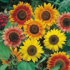 Sunflower Sunburst Mixed Seeds - Irish Plants Direct