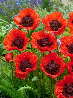Red Perennials, Red Poppies, Flower Beds, Dark Purple, Red Color, Poppy, Bright, Seasons, Flowers