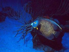 reef fish grand bahamas   Bahamas Diving at Andros Barrier Reef