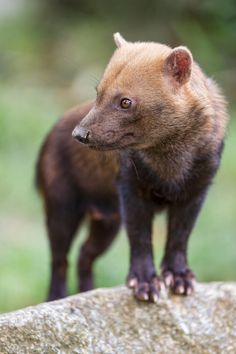 Bush dog (Central and South America)