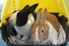 Dexter hopped off with Fudge yesterday Good luck guys! Another successful re homing by Buddies Bunnies Rescue.