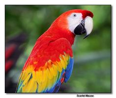 Scarlet Macaw, why oh why am I considering getting a macaw?