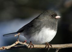 Dark-eyed Juncos are flashy little sparrows that flit about forest floors of the western mountains and Canada, then flood the rest of North America for winter. They're easy to recognize by their crisp (though extremely variable) markings and the bright white tail feathers they habitually flash in flight. http://www.youtube.com/watch?v=vlJUsAl4YCA
