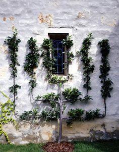 1000 Images About Garden Espalier Fruit Trees On Pinterest